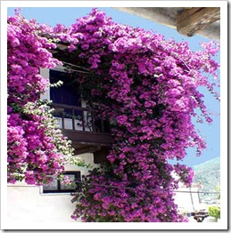 زراعة نبات الجهنمية(المجنونة Bougainvillea bougainvillea2_thumb[2].jpg?imgmax=800
